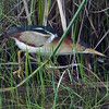 Here's a Least Bittern by Brooke that provided some great views at Anahuac NWR.