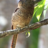 Ted also captured this full-frame shot of a bird that's often just a voice-in-the-forest: Barred Puffbird.