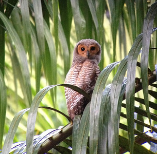 It's always great to see owls during the day (saves some sleep!), and this young Spotted Wood-Owl on the extension gave the group some fine views. (Photo by guide Dave Stejskal)