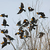An arty flock of Yellow-headed Blackbirds takes to the air, photographed by guide Eric Hynes.