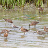 Shorebirds were already streaming northward: here's a group of Short-billed Dowitchers with a Dunlin sprinkled in. (Photo by guide Jesse Fagan)