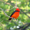 A fiery male Vermilion Flycatcher is hard to miss. (Photo by participant Don Faulkner)