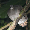 Did you know tinamous roost in trees at night? It's a great way to see them well, if you know where to look, and this was in fact a Great Tinamou itself. (Photo by guide Chris Benesh)
