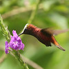 Snowcap is a highlight hummingbird of any trip to the Costa Rican highlands, and the bird in life is tiny -- likely much smaller than the size at which you are viewing it on your computer! (Photo by participant Henry Schaefer)