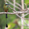 Birds don't get much more elegant than this, perhaps the crown jewel of its kin: Turquoise-browed Motmot. (Photo by participant Henry Schaefer)