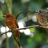 A White-whiskered Puffbird pair: that's a very saturated male on the left. (Photo by participant Henry Schaefer)