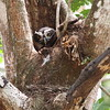 A Spectacled Owl at a nest (Photo by participant Henry Schaefer)