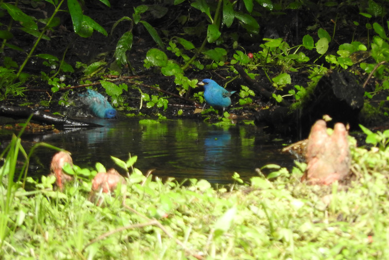 Water features on High Island are magnets for various migrant species, such as these Indigo Buntings. (Photo by participant Russell Varnam)