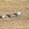 Lavender Waxbill is an uncommon species; we had a group of 8 feeding at Mole Lodge. (Photo by guide Phil Gregory)
