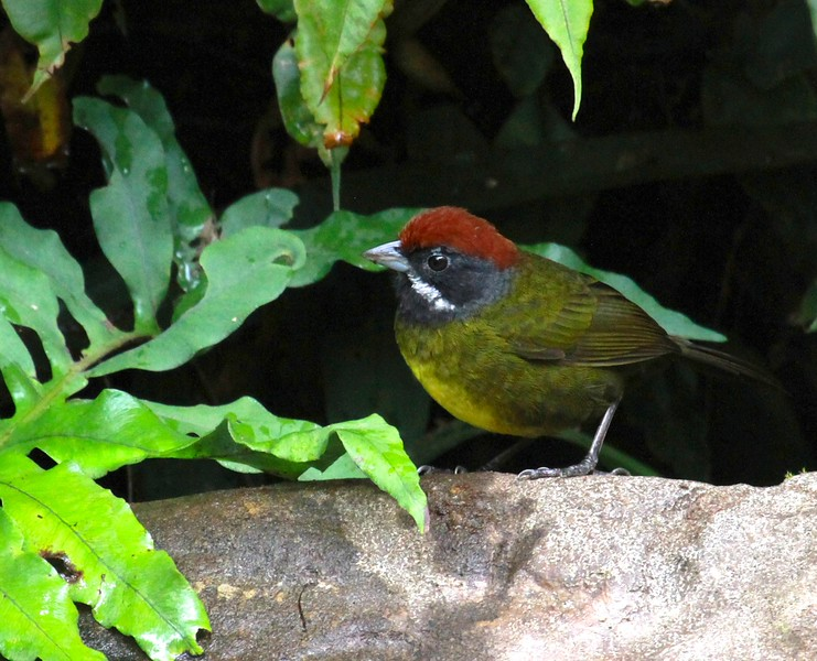 A bird of the dark understory: Sooty-faced Finch (Photo by participant Barb Wanless)