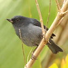 This profile of a Slaty Flowerpiercer shows its distinctive bill shape perfectly -- it's built to pierce the corollas of flowers to extract the nectar the birds would otherwise be unable to reach. (Photo by participant Henry Schaefer)