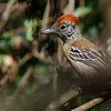 A Black-crested Antshrike female has a rufous crest instead. (Photo by participant Max Rodel)