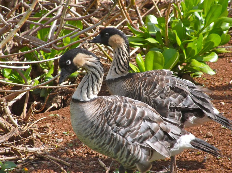 A Nene pair: this species is the island archipelago's state bird. (Photo by participant Martha Vandervoort)