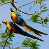 This gorgeous pair of Blue-and-yellow Macaws added a some excitement to our afternoon visit to the Georgetown Botanical Gardens. (Photo by participant Max Rodel)