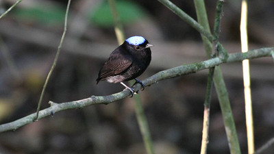 Blue-crowned Manakin -- this tiny bird fairly disappears in the forest understory save for the opal crown. Photo by participant Joelle Finley.