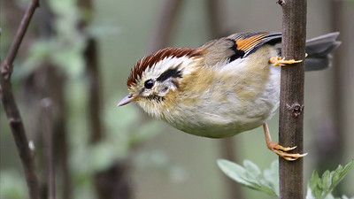 Participant Myles McNally captured the complex pattern of this Rufous-winged Fulvetta nicely.