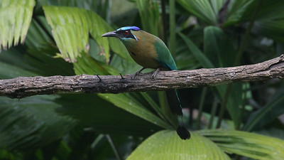 Lesson's Motmot, one of the several new species resulting from the Blue-crowned Motmot split. Photo by participant Joelle Finley.