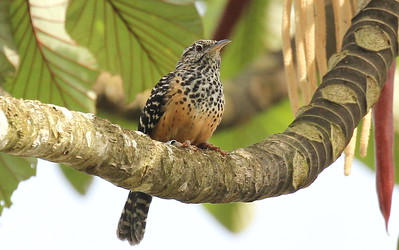 Band-backed Wren is a local cousin of Cactus Wren in Costa Rica. Photo by participant Ken Harris.