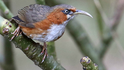 Scimitar-babblers like this Rusty-cheeked photographed by participant Myles McNally are real skulkers but vocal, so detection is made a bit easier.