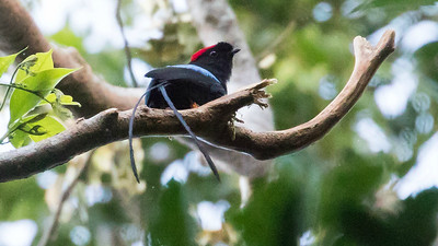 "Long-tailed Manakin, one of the spiffiest of the Chiroxipia manakins, has the onomatopoeic local name ""Toledo"" for its song...but the cooperative display will blow your mind. Photo by participant Steve Kilpatrick."