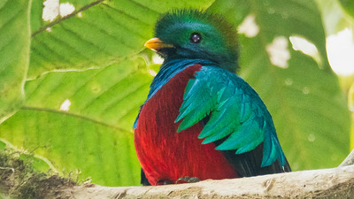 Resplendent Quetzal -- yes, we had some fabulous views of this amazing bird. Photo by participant Chris Kilpatrick.