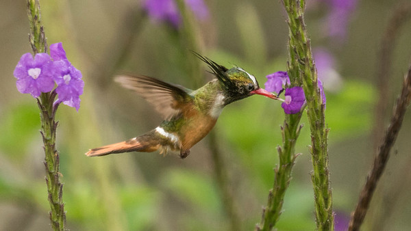 Plantings of Stachytarpheta jamaicensis (Jamaican Vervain) have made seeing hummers like White-crested Coquette so much easier in recent years! Photo by participant Chris Kilpatrick.