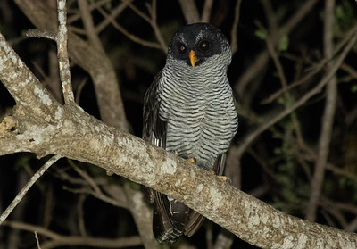 Black-and-white Owl is one of the larger owls we can see in Costa Rica. Photo by participant Steve Kilpatrick.