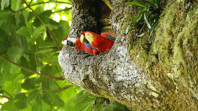 A pair of Scarlet Macaws enjoyed the view from the entrance to their nest cavity. Photo by participant Ken Harris.