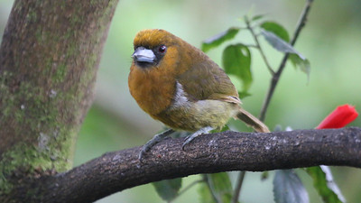 Another duet specialist -- the unusual Prong-billed Barbet. Photo by participant Tracey Bauder.
