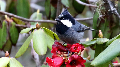 Rufous-vented Tit by participant Myles McNally.