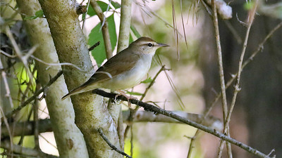 Let's move now to our Texas Coast Migration Spectacle tours, where the sometimes hard-to-see Swainson's Warbler is always a prize. Photo by participant Holger Teichmann.