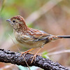 Of course, there are lots of other birds to be found in Louisiana in fall, from myriad ibises and other waterbirds to a nice variety of landbirds. Here's a Bachman's Sparrow our group saw well at Casatchie National Forest during the tour. (Photo by guide Jesse Fagan)