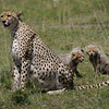 Mammal highlights on this tour are many. Cheetahs always wow the group... (Photo by participants David & Judy Smith)