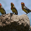 These three Red-and-yellow Barbets were vocal and putting on quite the show...! (Photo by participants David & Judy Smith)