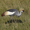 The remarkable Gray Crowned-Crane (Photo by participants David & Judy Smith)