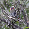 Australia's five species of firetails are fantastic small birds. This Red-eared Firetail made a close appearance at Cheynes Beach near Albany. (Photo by guide Jesse Fagan)