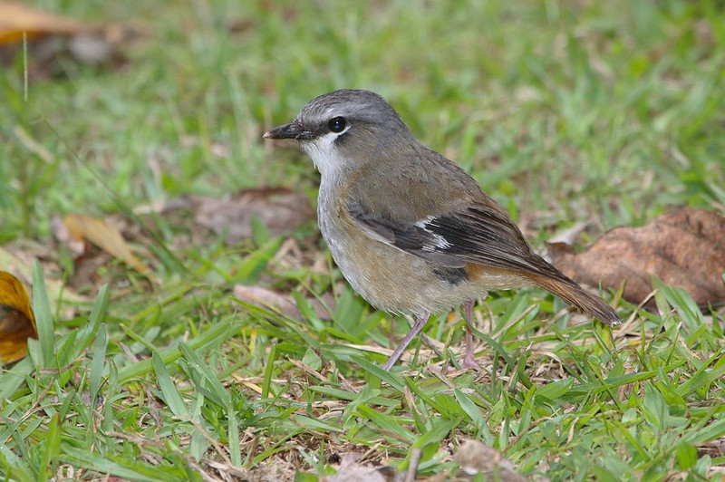 And, to wrap up our Australia pics, a Gray-headed Robin. This species is endemic to the Atherton Tableland south of Cairns in the northeast. (Photo by guide Chris Benesh)