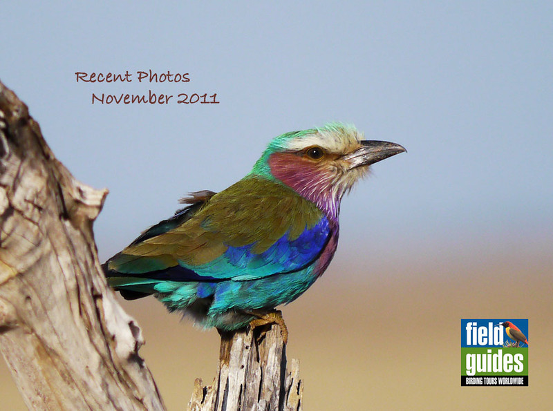 In this month's Recent Photos gallery: Some great images by participants David and Judy Smith from one of the top birding destinations on earth, Kenya, where we begin with this lovely Lilac-breasted Roller, along with highlights from our recent tours to Louisiana, Australia, and Cape May. Enjoy!