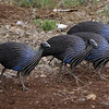 Vulturine Guineafowl have got to be some of the most ghoulish (yet strangely beautiful) birds in appearance...and even more so in a group! (Photo by participants David & Judy Smith)