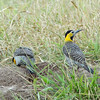 This pair of Campo Flickers was robbing a termitarium (termite mound) in Santa Cruz...one stood guard while the other one raided. (Photo by guide Dan Lane)