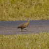 Hate wasting time in airports? We do too, but peek out the window at the Santa Cruz airport (and at quite a few others in South America) and there may well be a birding reward...such as this Red-winged Tinamou which paraded for our group. (Photo by participants David and Judy Smith)