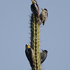 These are White-fronted Woodpeckers, here in Bolivia but a species that ranges widely across the middle third of South America. Their perch gives us a little insight into why their scientific name is Melanerpes cactorum...ouch! (Photo by participants David and Judy Smith)