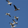 """Yes, it's a rail trip, of course, but big waterfowl and wading birds are a great feature, too, with some of them seen in huge numbers. Here two Snow Geese, including a """"Blue,"""" join the smaller Ross's Geese near Thornwell. (Photo by guide Eric Hynes)"""