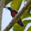 """This is a Yellow-tufted Woodpecker...widespread in northern South America...but it's a real """"red-belly"""" as this image shows! (Photo by participants David and Judy Smith)"""