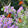 Birds are the spectacle highlight, but Monarch butterflies were moving aplenty, too, and made for some lovely scenes. (Photo by participant Dixie Mills)