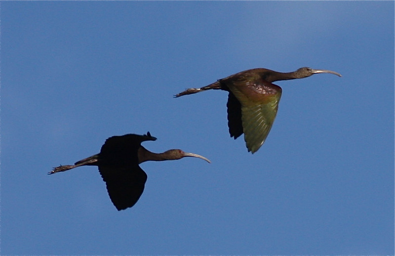 Here's a serendipitous shot by guide Eric Hynes offering a nice comparison of White-faced (l.) and Glossy Ibises.