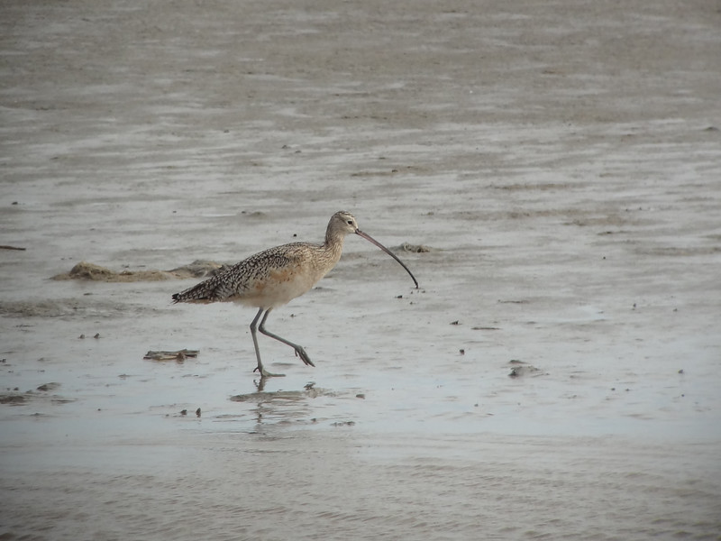 A lovely Long-billed Curlew livened up lunchtime at Cameron. (Photo by guide Dan Lane)