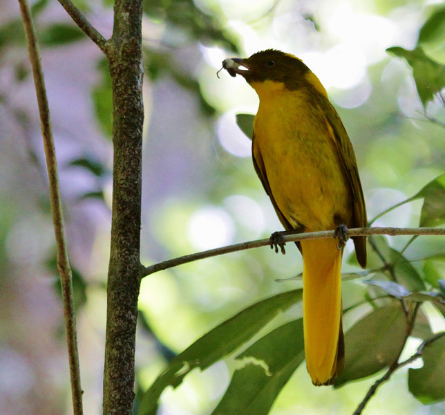 Guide Jesse Fagan caught this image of a male Golden Bowerbird near his bower on the Atherton Tablelands southwest of Cairns.