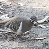 Squatter Pigeon is a scarce and declining species, but we had great looks at ten or more at Granite Gorge west of Cairns as they came in, of all things, for some wallaby food that had been spilled. (Photo by guide Phil Gregory)