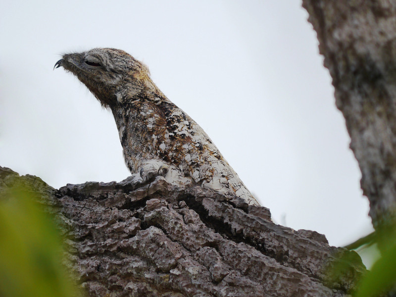 A cryptic Great Potoo trying to look like a stump -- our group had great views of two of these on the extension. The gape on these birds, which catch flying insects at night, extends well back behind the eye, so that when the birds open their mouths it's as if the entire head hinges open. (Photo by participants David and Judy Smith)